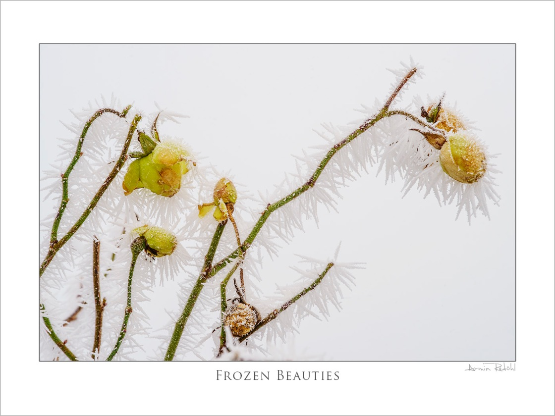 frozen beauties